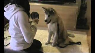Riley - Malamute Puppy Training At 3 Months!