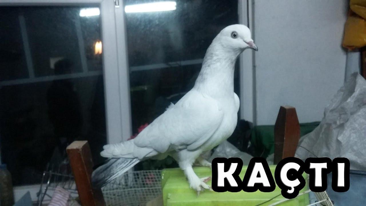 Beyaz Güvercin Kaçtı Youtube