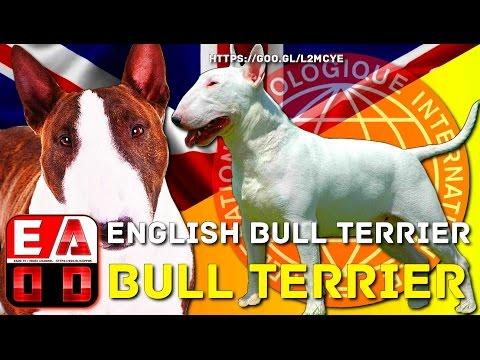 BULL TERRIER O BULL TERRIER INGLES - Historia, aspecto general, cuidados y salud. EADD CHANNEL