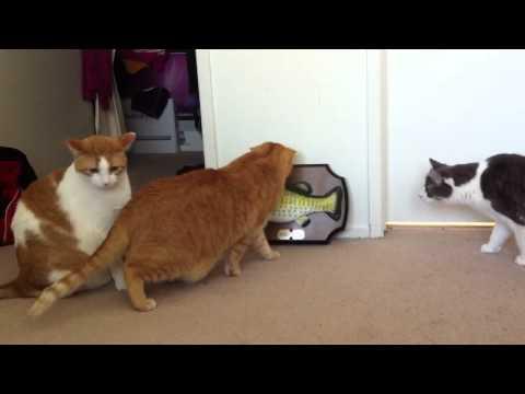 Cats Watching Billy Bass