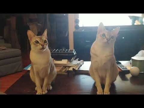 Singapura cats watching a tennis match?