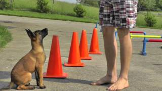 Malinois Puppy Training - 12 Weeks