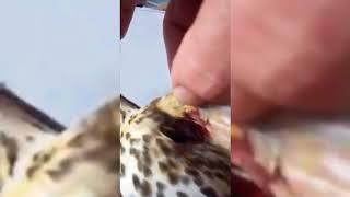 Tordo ferito da cacciatori Manduria