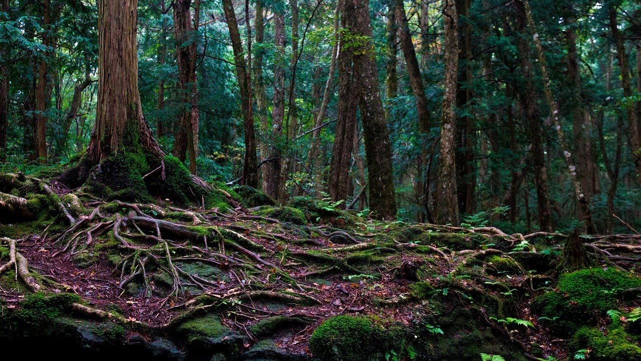 Aokigahara la foresta dei suicidi in giappone youtube for Pianta della foresta di pioppo