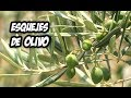 Como Hacer Esquejes de Olivo | La Huerta de Ivan