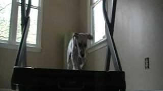 Puppy Treadmill Training