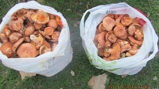грибы в Испании...все за рыжиками...сбор и соление с мамой