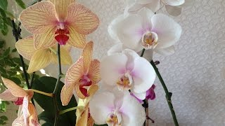 видео Загнила сердцевина у орхидеи.