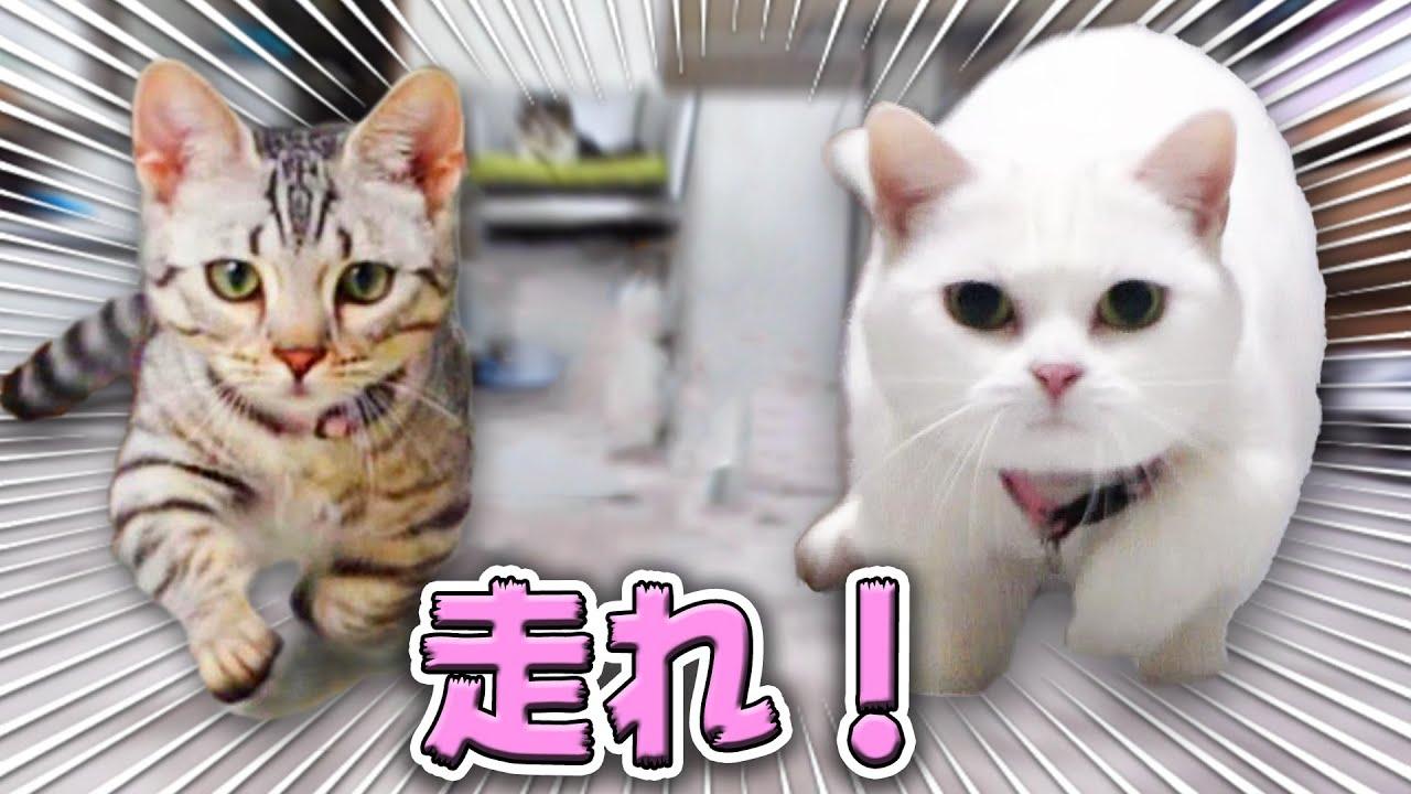 走れ、ラム!走れ、ルナ!暑さに負けずに遊ぶ猫 Run! Run! Run! Playful white Munchkin and Genetta cat.