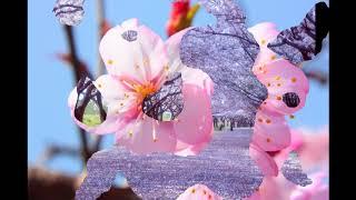 『演歌耳袋帖』 春は桜の夢が咲く 山口ひろみさん。