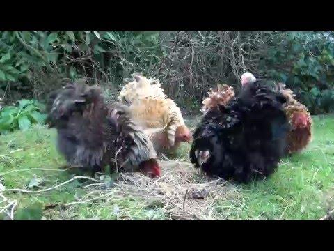 Pekin Frizzle Bantam Chickens