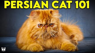 Persian Cat 101  Everything You Need To Know About Persian Cats