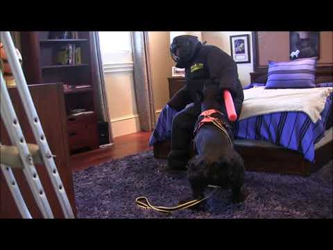 Giant Schnauzer from Fearful to Killer protection dog