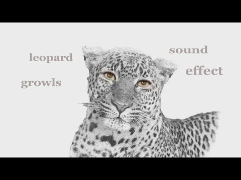 The Animal Sounds: Leopard Growls - Sound Effect ...