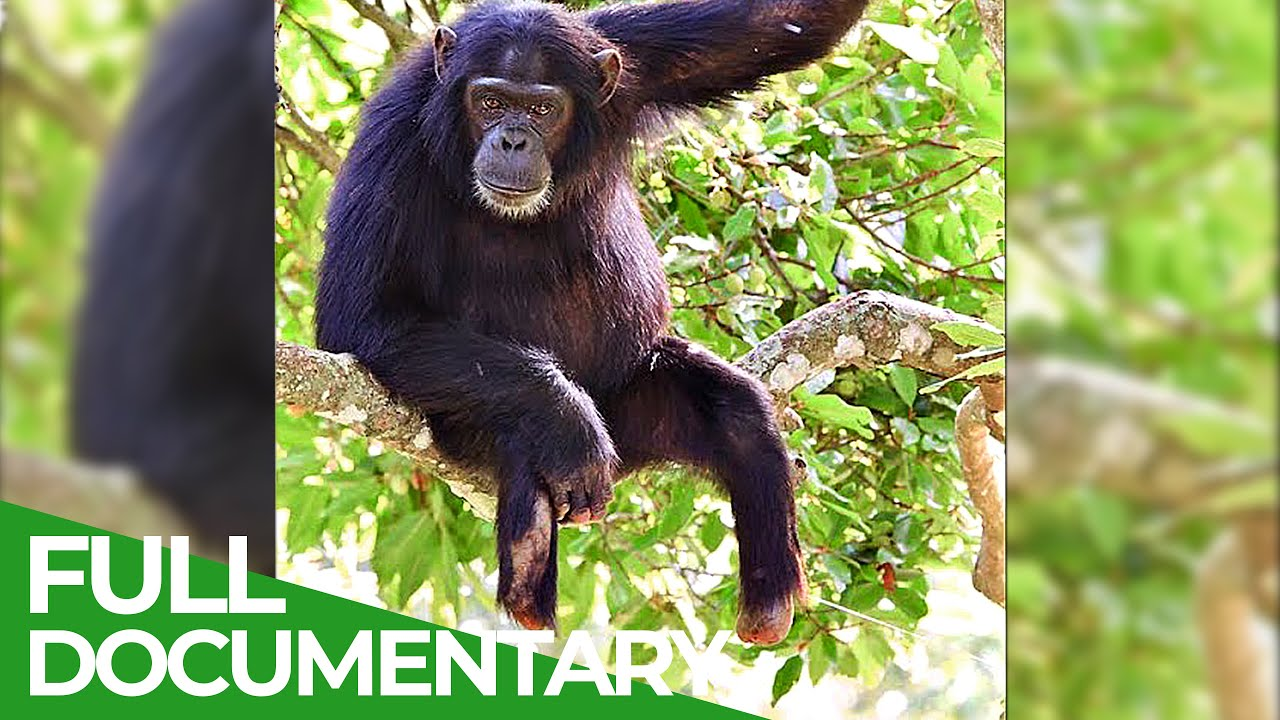 Max - The Chimp Amputee | Giving Nature A Voice | Free Documentary Nature
