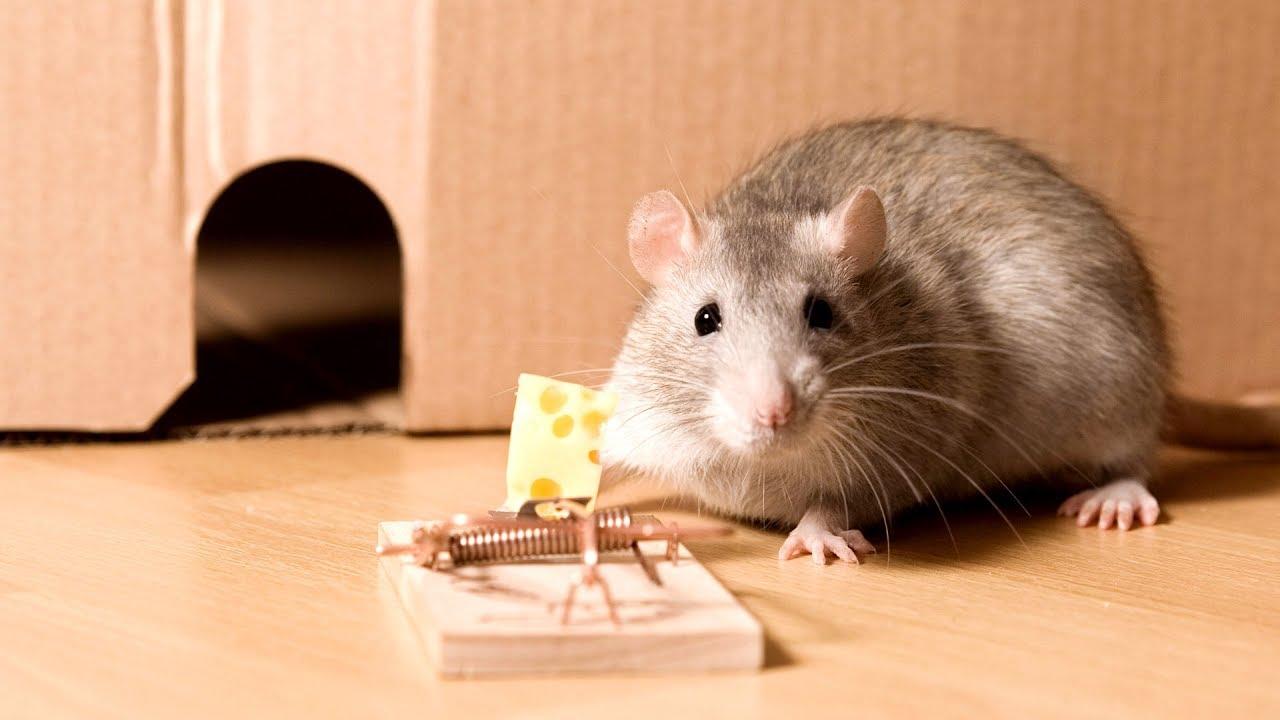 Helminti la șoareci