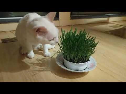 Devon Rex Tries Cat Grass!