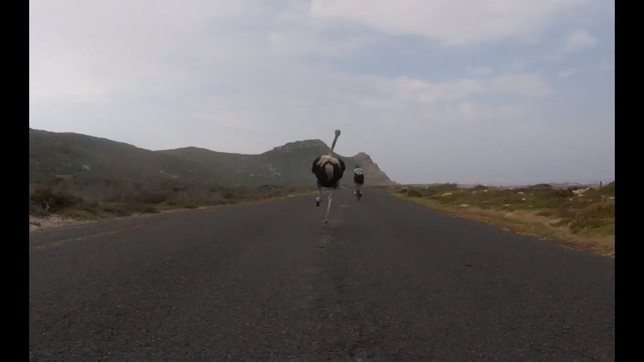 Cyclists chased by an ostrich.