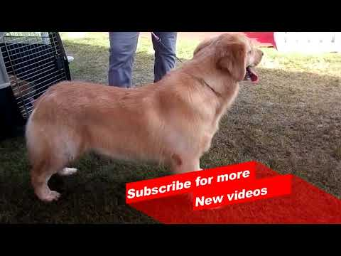 Wow ! Most Amazing dog breeds worldwide | Golden Retriever |