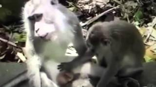 Wild Wives of India - Monkey make love like human Animal Romance