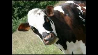 Odgłosy zwierząt- krowa