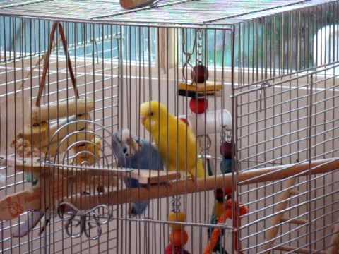parakeets sex