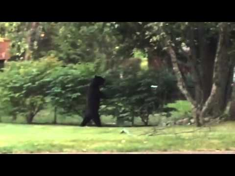 Oak Ridge NJ bipedal bear back again!