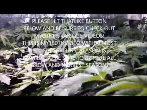 2019 GROW SEASON HOW TO START CANNABIS PLANTS FOR GIANT YIELDS SEEDS,CLONES DIY MARIJUANA GARDEN