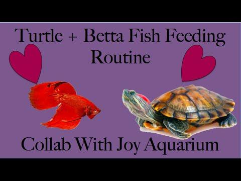 Betta Fish + Turtle Feeding Routine - Collab With Joy Aquariums