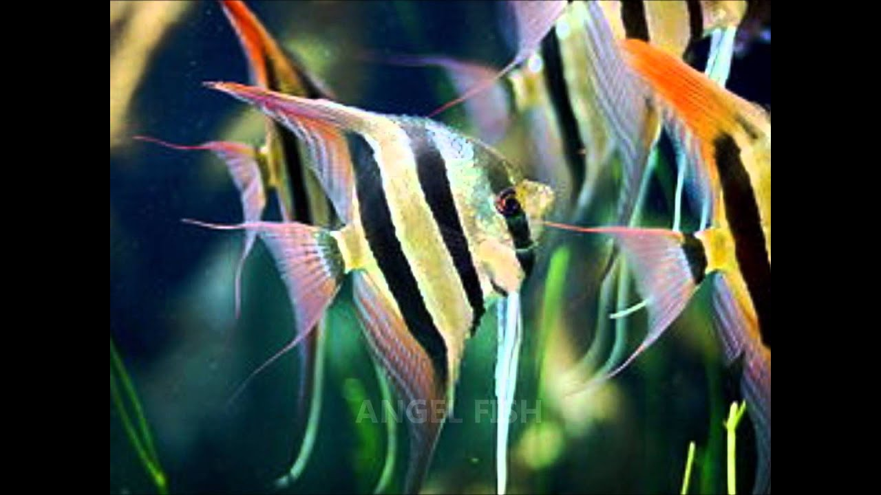 Freshwater aquarium fish photos - Freshwater Aquarium Fish Photos