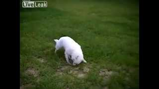 Dog gets sprayed by skunk