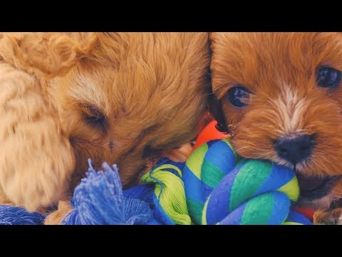 Toy Cavoodle Puppies Chevromist Kennels