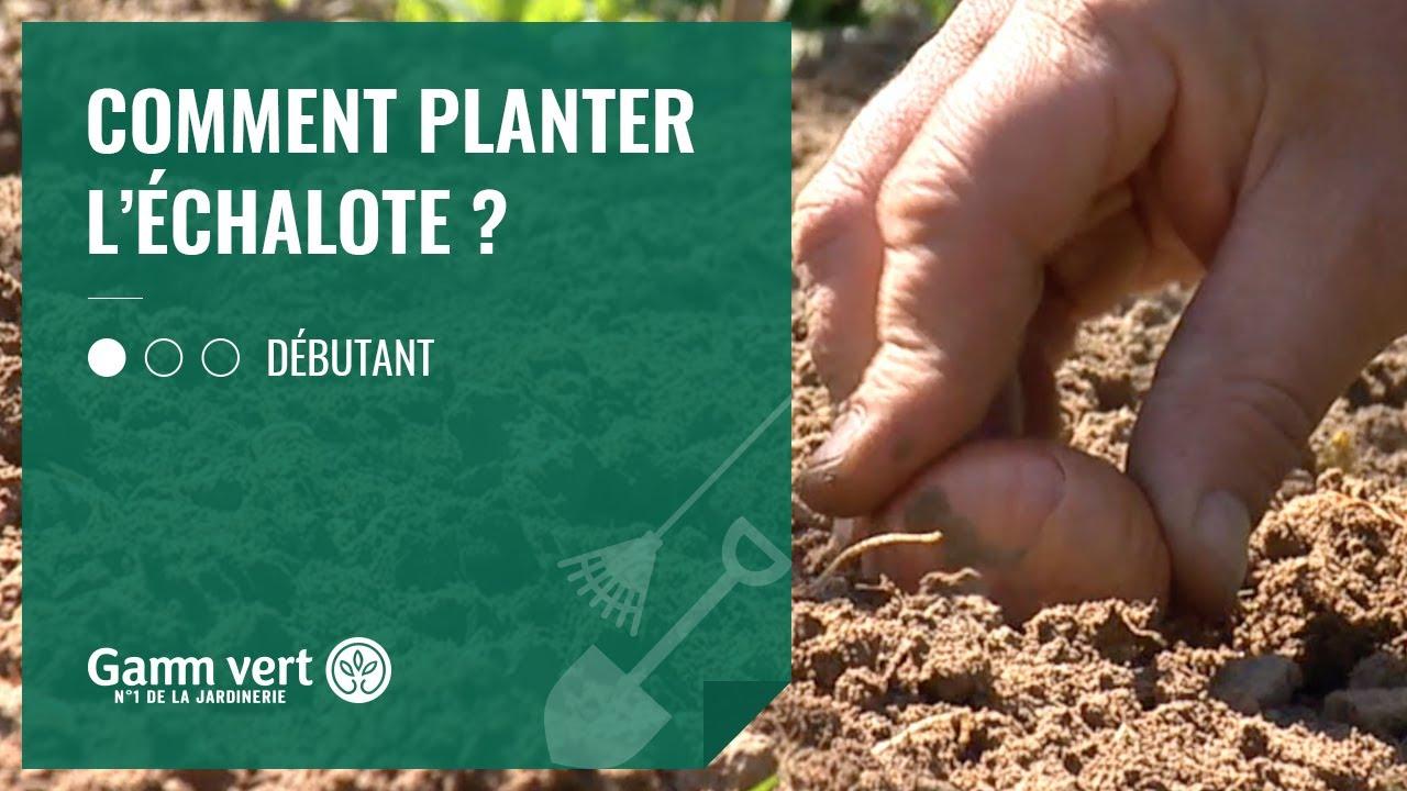 Comment Planter De L Échalote [tuto] comment planter l'échalote ? – jardinerie gamm vert