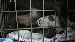 Raw: Giant Panda Recuperates After Attack
