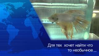 Рыбка петушок (лат. Betta splendens)
