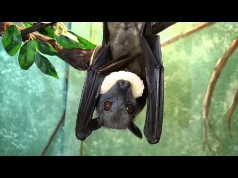 They Feast On A Tropical Diet is listed (or ranked) 2 on the list Meet The Flying Fox - A Mammoth-Sized Gentle Giant