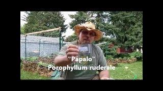 Papalo: The Heat Loving Cilantro Alternative