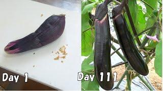スーパーで買ったナスの種から育てる(ナスの育て方)  /  How to grow eggplant from seeds