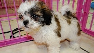 ShiChon, Puppies, For, Sale, In, Green Bay, Wisconsin, WI, Eau Claire, Waukesha, Appleton, Racine, K
