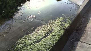 Pond Scum On Gilman Drive