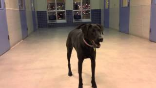 Kepler, A 3 Year Old Labrador Retriever Mix Available For Adoption At The Wisconsin Humane Society