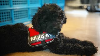 Houdini puppy dog escapes from his first harness  Toy Poodle Adventures