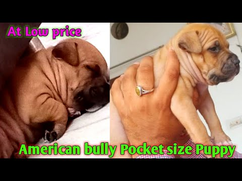 American Bully Pocket Puppies For Sale Low Price American Bully Puppies Youtube