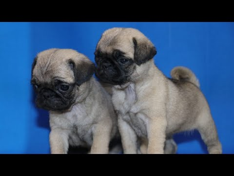 Awesome Pug Puppies for Sale. Pug litter location is Pune. Heavy Quality Pugs for Sale all India