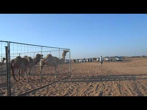Travel UAE Dubai Desert Safari Camel Camp 041214