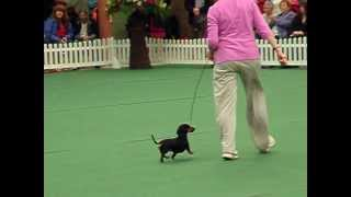 Short-listed Mini Smooth Dachshund At Wkc 2012 Hound Group
