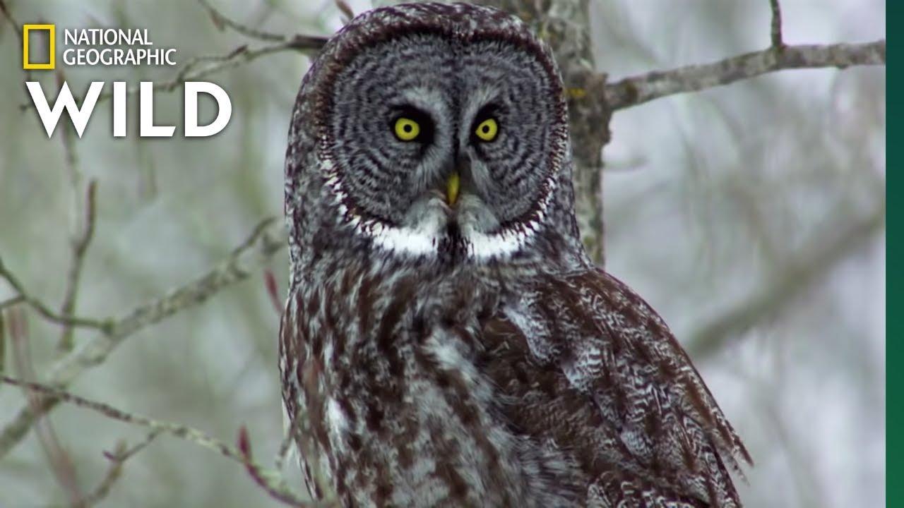 Owls Have Superior Senses Nat Geo Wild Youtube