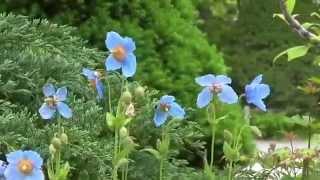 幻の花ヒマラヤの青いケシ箱根湿生花園1