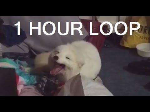 Cute Arctic White Fox Laughing Vine 1 HOUR LOOP
