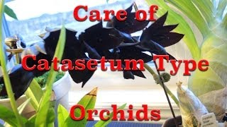 how to grow catasetum type orchids dealing with dormancy